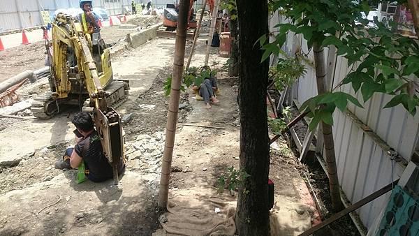 大巨蛋移樹防災工程 - 護樹團體阻撓