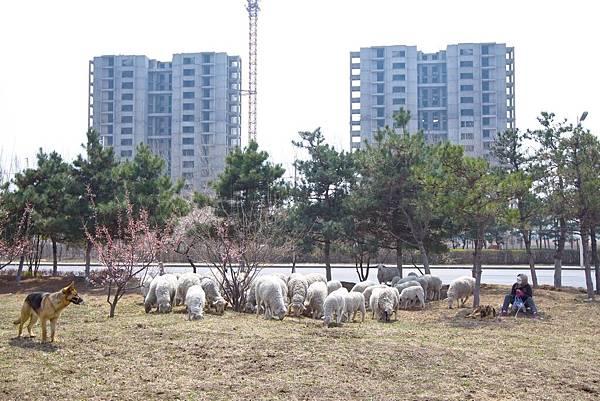 鬼城 - 沈(陽)北新區道義街道進步村馬路兩側綠化帶放牧.jpg