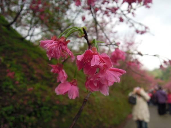 大坑濁水巷櫻花