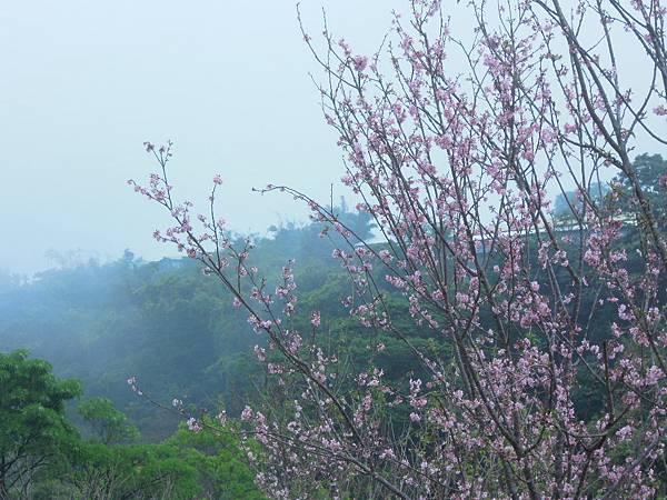 細雨與大霧中的新社櫻花林