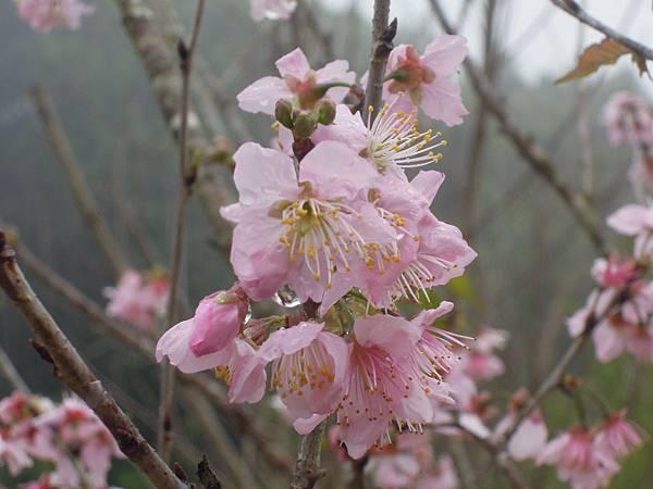 粉紅色的櫻好漂亮
