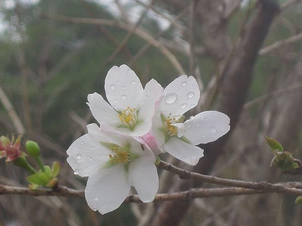 雨珠欲滴的櫻