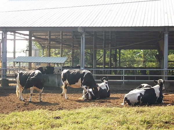 乳牛舒服曬太陽