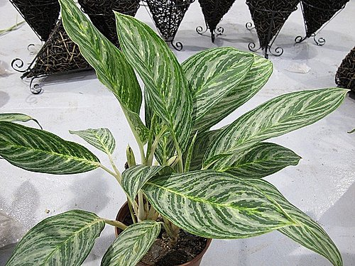 綠白紋粗肋草