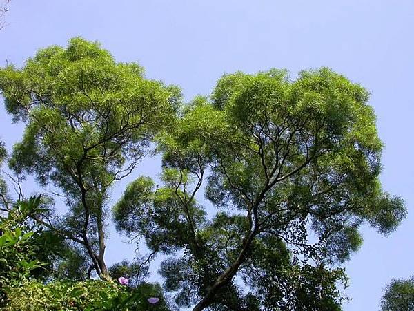 01枝葉細緻綿密,遠望整片相思樹林,就好似一朵朵綠色的雲朵堆積在一塊