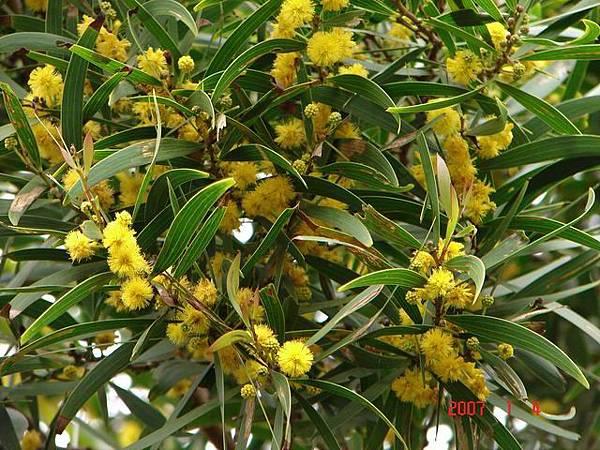 04滿樹鮮黃色的小絨球開花時,為春天原野增添了不少清新氣息。