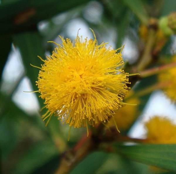 05頭狀花序,球形;同含羞草一般,由許多小花集結成一個小圓球。