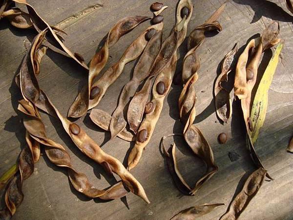 06莢果扁平,深褐色 ,種子和嫩果莢含有劇毒, 要格外小心。
