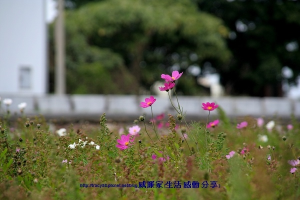 波斯菊.jpg
