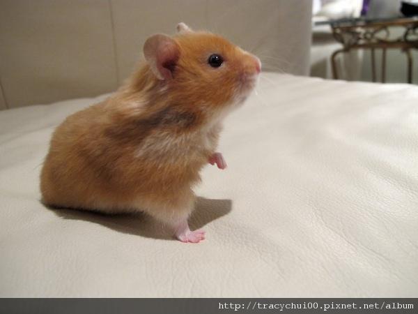 天竺鼠-1