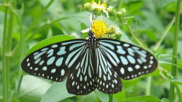 小紋青斑蝶