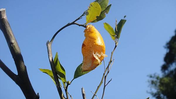4a 鳥吃橘子 (1)