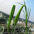 台灣野百合_20130810-2