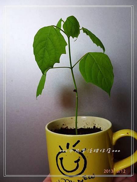雲南石梓_20130912-1