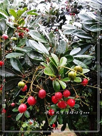 種子盆栽。。紅柴。台灣樹蘭