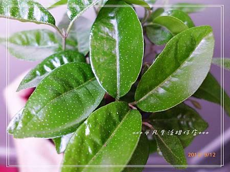台灣樹蘭_20130912-2