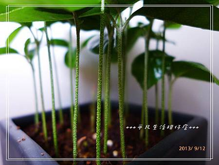 台灣樹蘭_20130912-4