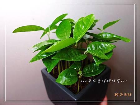 台灣樹蘭_20130912-1