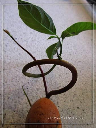 酪梨_20121217-2