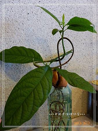 種子盆栽。。酪梨
