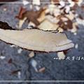 樹薯_20131208-2.jpg