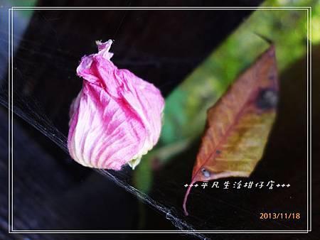 山芺蓉_20131118-2.JPG