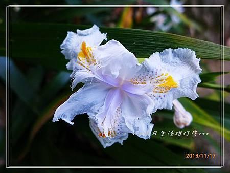 日本鳶尾_20131117-1.JPG