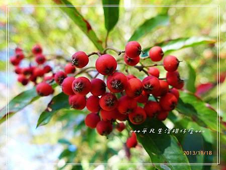 玉山假沙梨_20131118-2.JPG