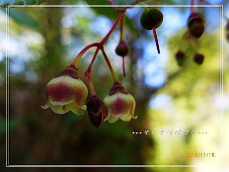 白珠樹_20131118-2.JPG