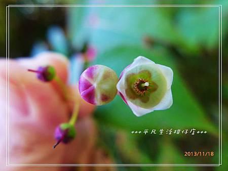 白珠樹_20131118-6.JPG