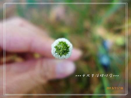 矮菊_20131118-1.JPG