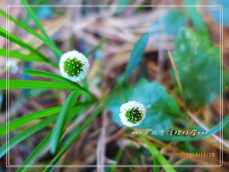 矮菊_20131118-2.JPG