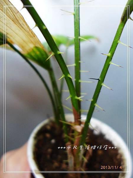 黃藤_20131104-5.jpg