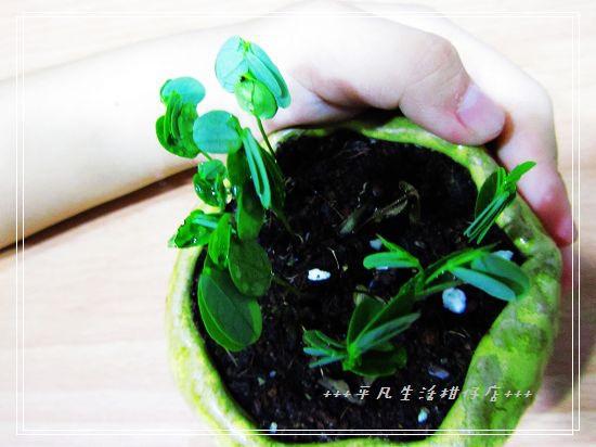 黃槐_20111102-5.jpg