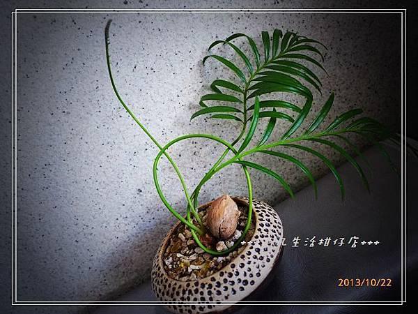蘇鐵_20131022-2.jpg