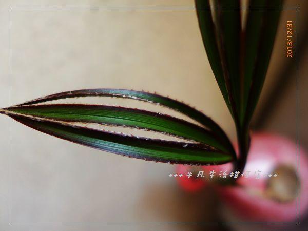 藍棕梠_20131231-2.jpg