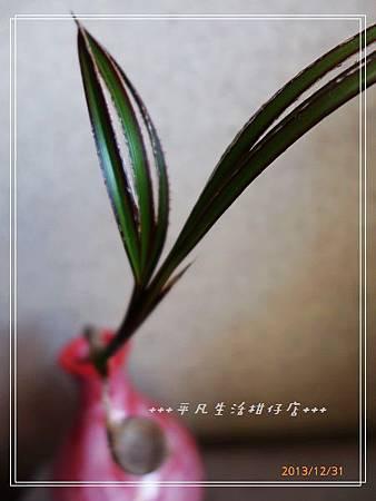 藍棕梠_20131231-3.jpg