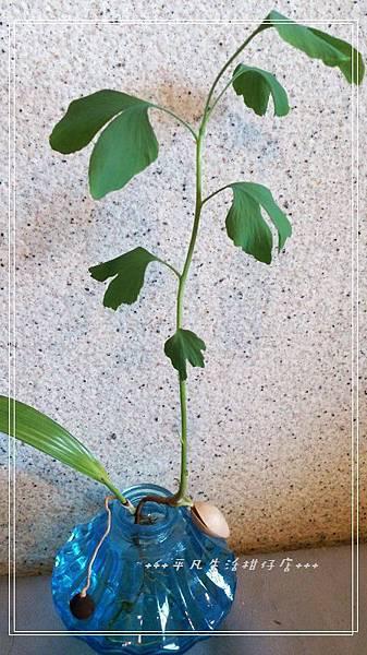 銀杏種子盆栽
