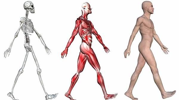 sistema-muscular-definicao-funcao-dos-musculos-e-grupos-musculares-2-1024x576.jpg
