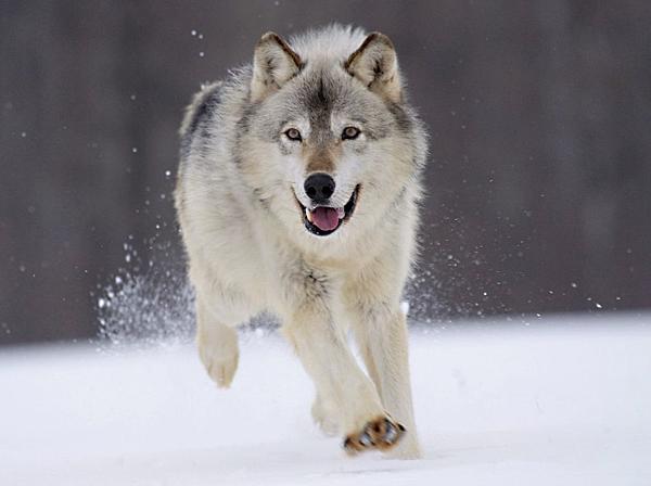野狼與家犬.png