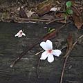 落地的油桐花