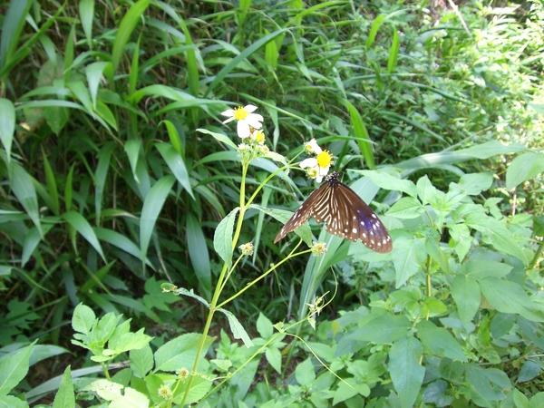 美麗蝴蝶1