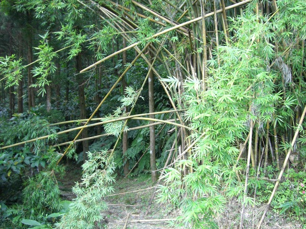 臥虎藏龍的竹林