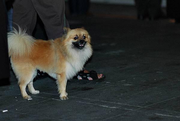 怪狗一隻,嘴巴是黑的,跟傳統博美狗不同。