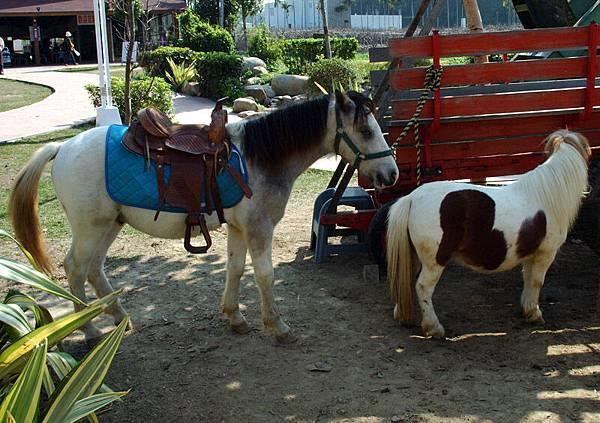 供人租用騎乘的迷你馬