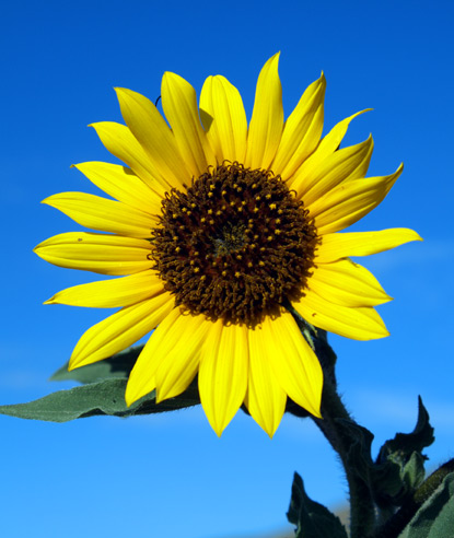 Annual-Sunflower.jpg