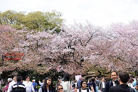 上野櫻花4.jpg
