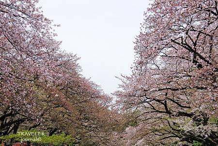 上野櫻花12.jpg