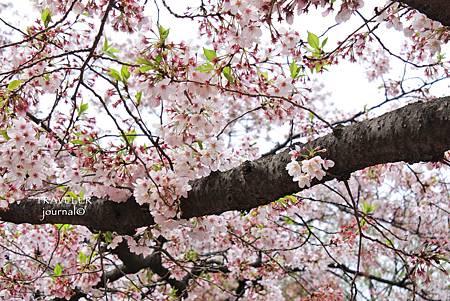 上野櫻花11.jpg