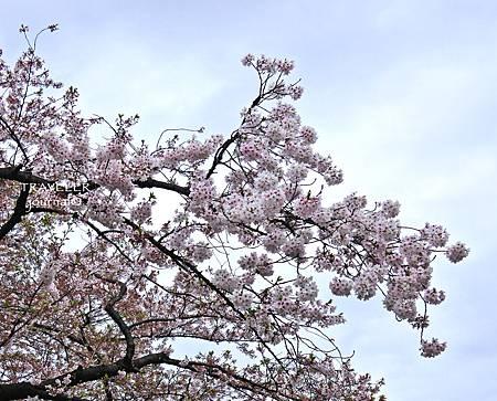 上野櫻花10.jpg